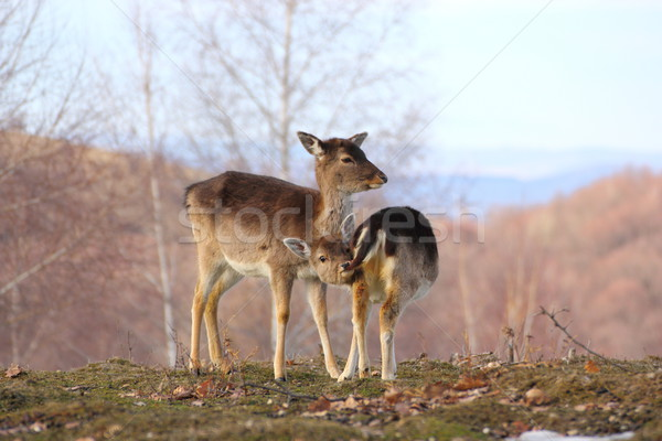 deer doe and calf Stock photo © taviphoto