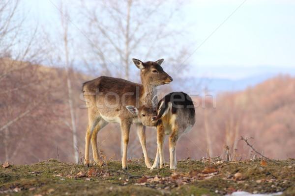 Szarvas áll tisztás család természet háttér Stock fotó © taviphoto