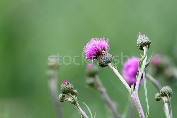 thistle in bloom Stock photo © taviphoto