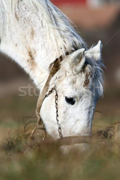 detail of white horse grazing Stock photo © taviphoto