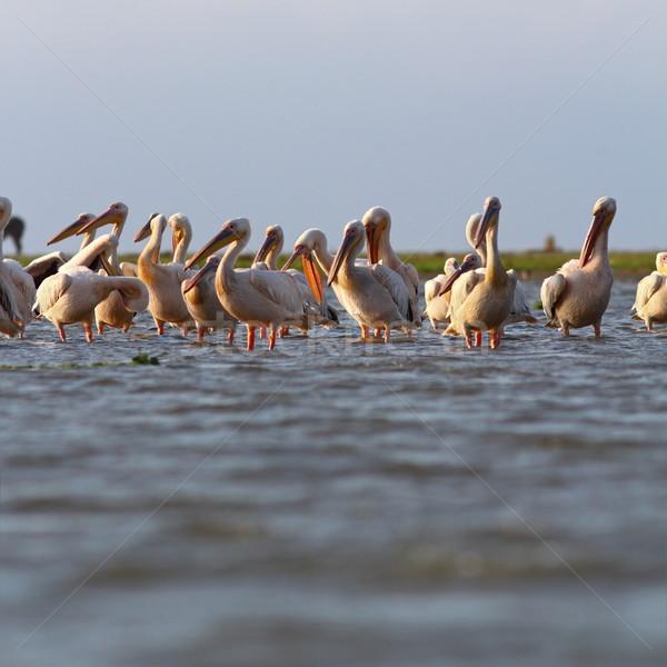 great pelicans colony at Sahalin Stock photo © taviphoto