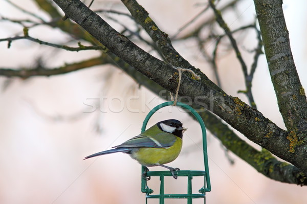 garden bird on fat feeder Stock photo © taviphoto