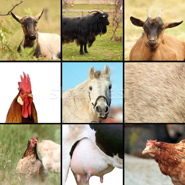 some animals from the farm Stock photo © taviphoto