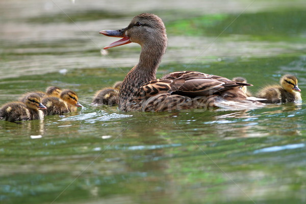 female mallard with ducklings Stock photo © taviphoto