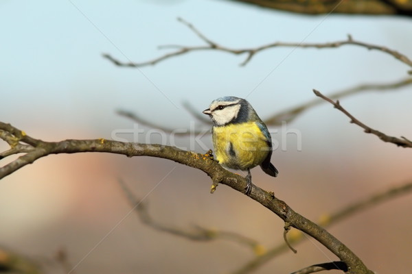 tiny garden bird on branch Stock photo © taviphoto