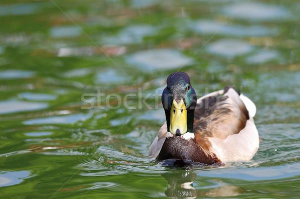 Stock fotó: Férfi · tó · felület · kacsa · úszik · háttér