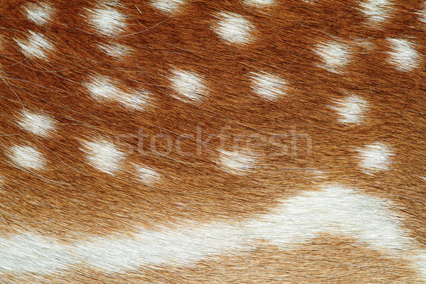 beautiful texture of fallow deer pelt Stock photo © taviphoto