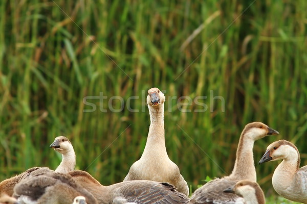 flock of domestic geese Stock photo © taviphoto