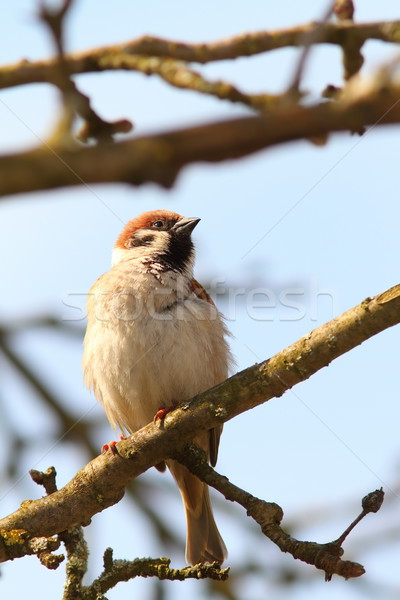 proud male sparrow Stock photo © taviphoto
