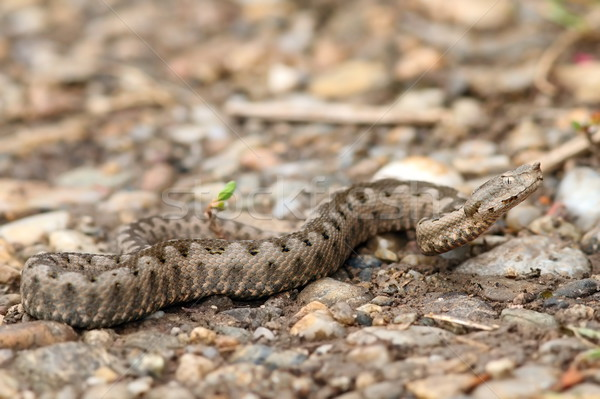 juvenile european nose horned viper Stock photo © taviphoto