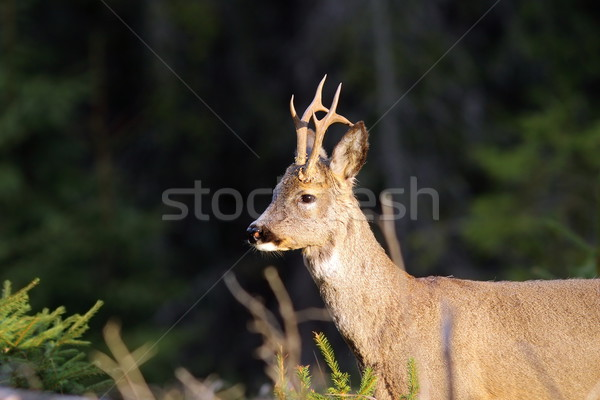 portrait of wild roebuck Stock photo © taviphoto
