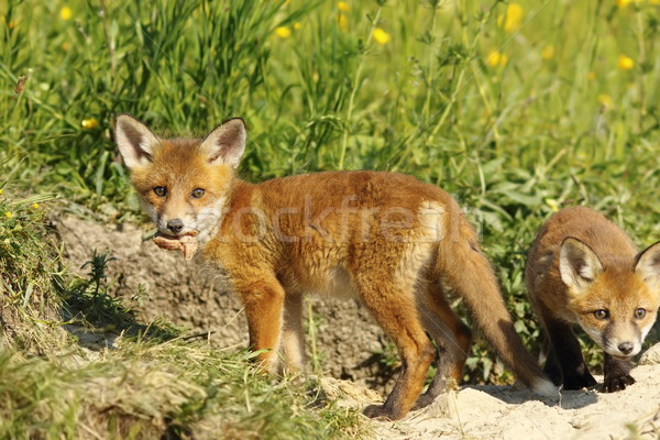 fox cub eating peace of meat Stock photo © taviphoto