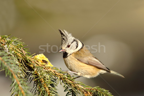 crested tit on fir twig Stock photo © taviphoto