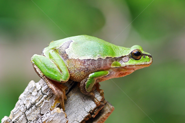 cute tree frog on wooden stump Stock photo © taviphoto