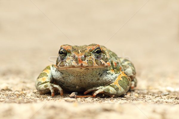 かわいい 小さな 緑 ヒキガエル 自然 背景 ストックフォト © taviphoto