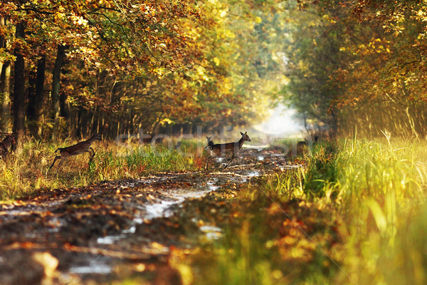 fallow deers in the autumn woods Stock photo © taviphoto
