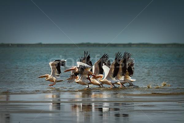 flock of common great pelicans taking flight Stock photo © taviphoto