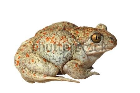 garlic toad on white background Stock photo © taviphoto