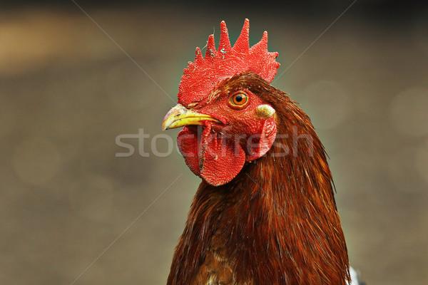 портрет красочный курица коричневый из Focus Сток-фото © taviphoto