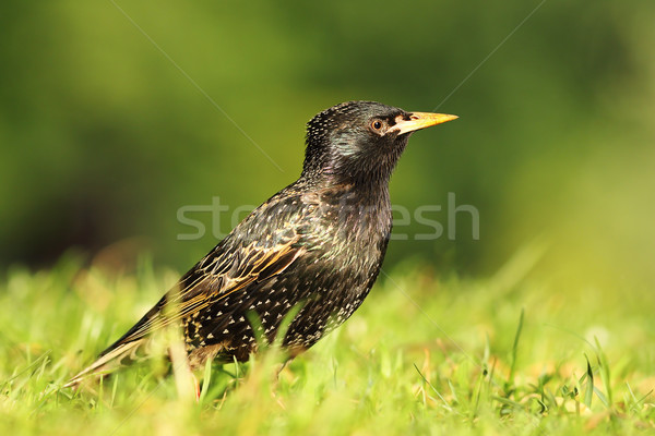 close up of common starling Stock photo © taviphoto