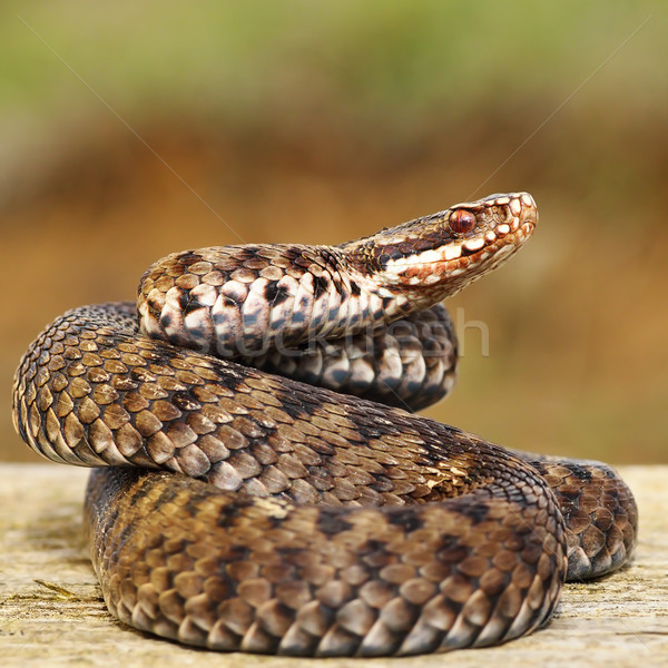 common european adder on wood board  Stock photo © taviphoto