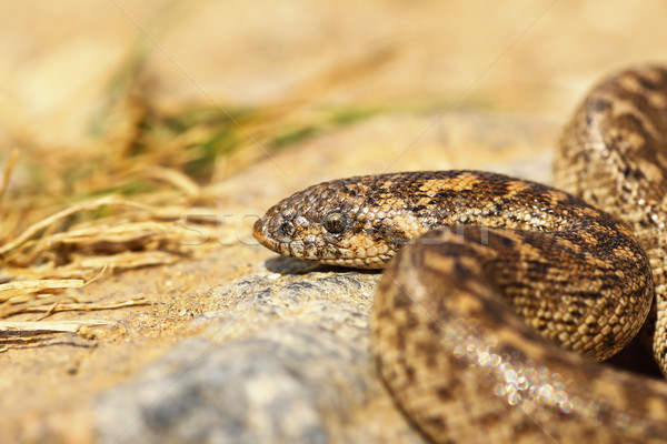 песок несовершеннолетний молодые змеи шаблон Сток-фото © taviphoto