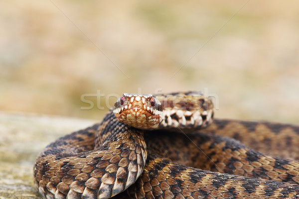 female common adder looking at the camera Stock photo © taviphoto