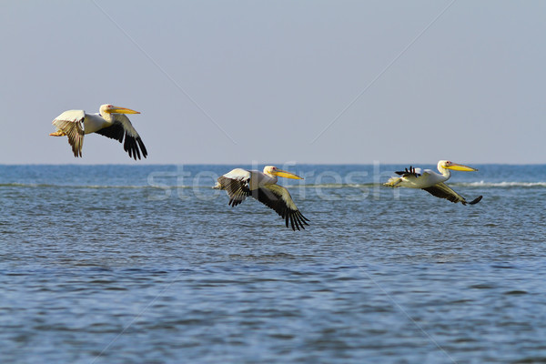 three great white pelicans flying over sea Stock photo © taviphoto