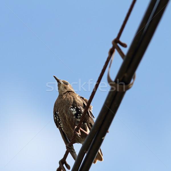 sturnus vulgaris on cable Stock photo © taviphoto