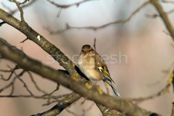 Photo stock: Homme · hiver · plumage · européenne · arbre · nature