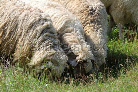 flock of white sheep grazing Stock photo © taviphoto