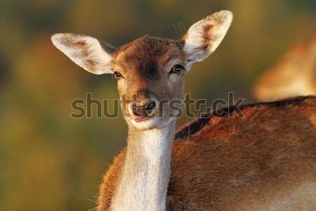 fallow deer doe funny face Stock photo © taviphoto