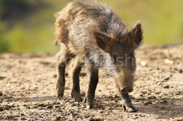 young wild boar Stock photo © taviphoto
