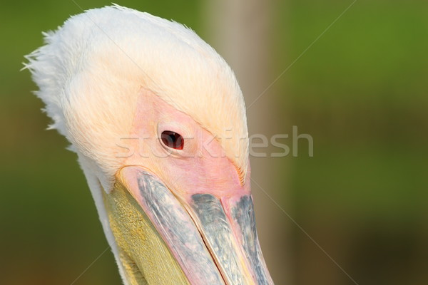 close up on great pelican head Stock photo © taviphoto