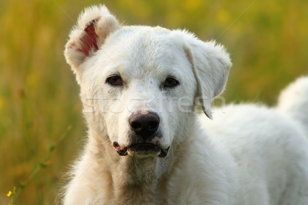 white romanian shepherd  dog Stock photo © taviphoto
