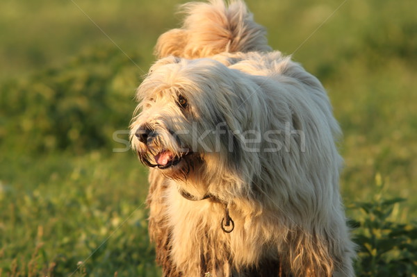 Sale pelucheux roumain pasteur chien blanche Photo stock © taviphoto