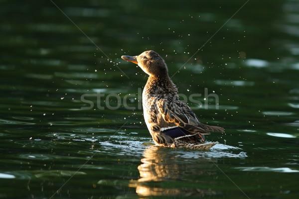 female mallard splashing water Stock photo © taviphoto