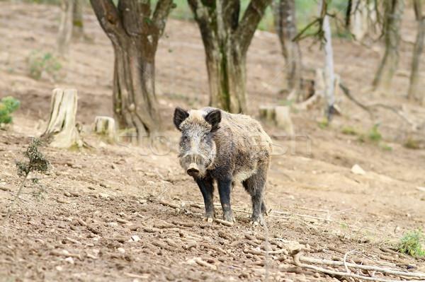 wild boar near the forest Stock photo © taviphoto