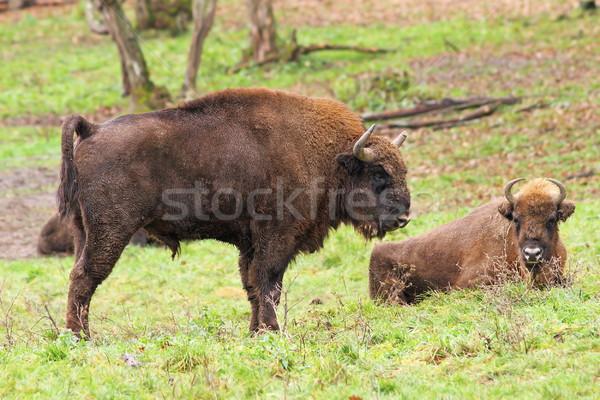 big european bison Stock photo © taviphoto