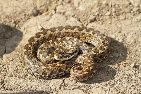 Női legelő föld kígyó állat gyönyörű Stock fotó © taviphoto