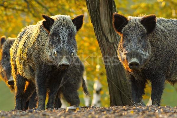 curious wild boars Stock photo © taviphoto