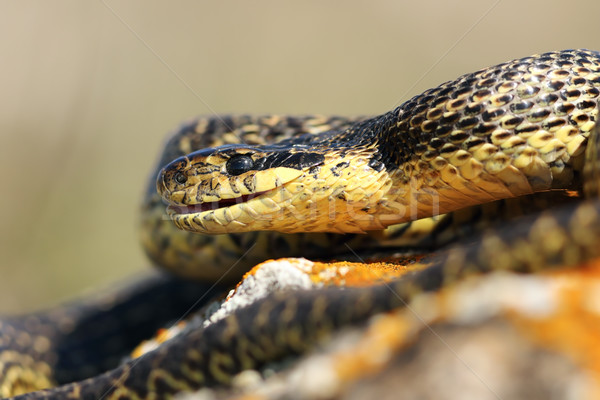close up of blotched snake head Stock photo © taviphoto