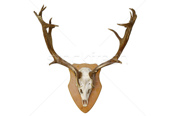 fallow deer stag hunting trophy over white Stock photo © taviphoto