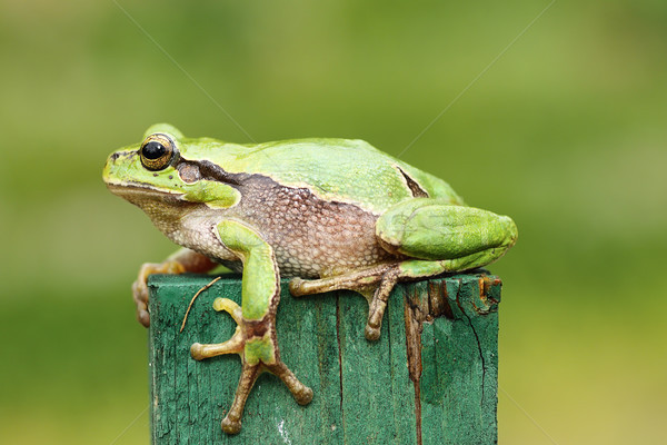 green tree frog close up Stock photo © taviphoto