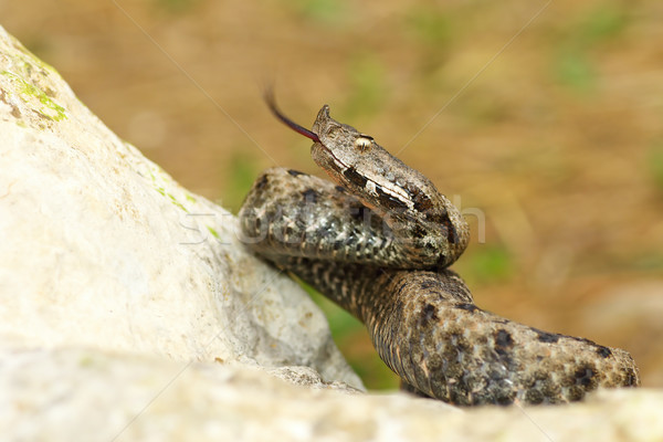 nose horned viper on stone Stock photo © taviphoto