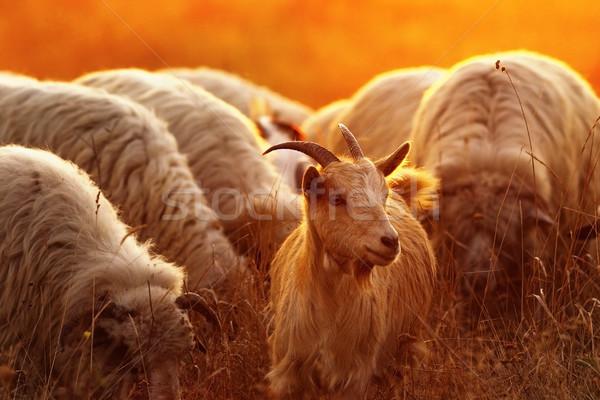Portré házi kecske birka nyáj hajnal Stock fotó © taviphoto