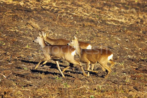 Ikra fut föld nyáj tájkép mező Stock fotó © taviphoto