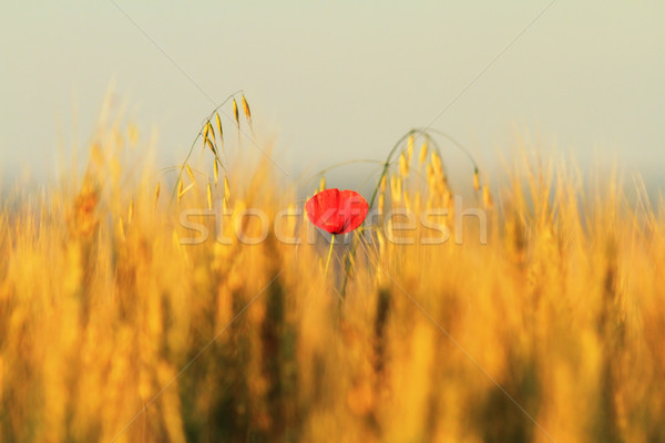 single red poppy in wheat field Stock photo © taviphoto