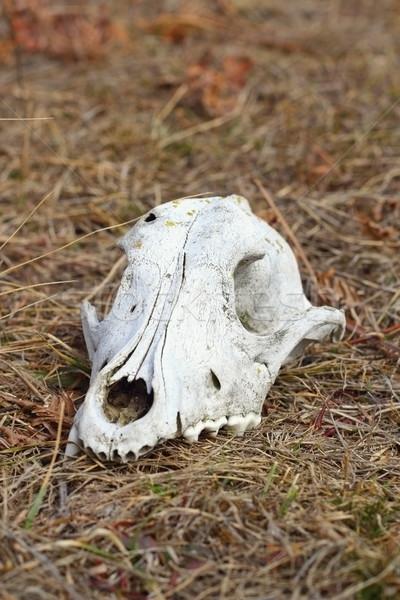 犬 グランジ 頭蓋 自然 頭 死んだ ストックフォト © taviphoto