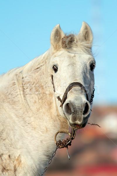 portrait of white beautiful horse Stock photo © taviphoto
